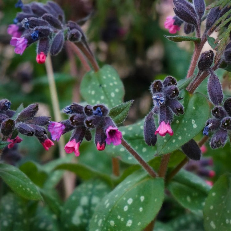 Pulmonaria, also known as Lungwort, likes to live in shady places and is one of the first to bloom.