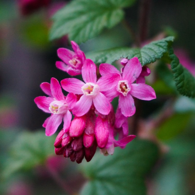 Red-flowering-currant