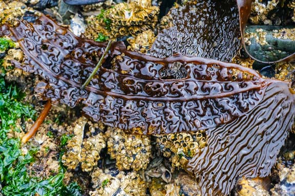 Part of Giant Kelp (Macrocystis integrifolia) seaweed