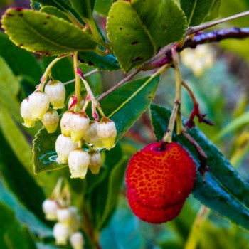 The Strawberry Tree, Arbutus unedo, is unusual in that it fruits and flowers at the same time.
