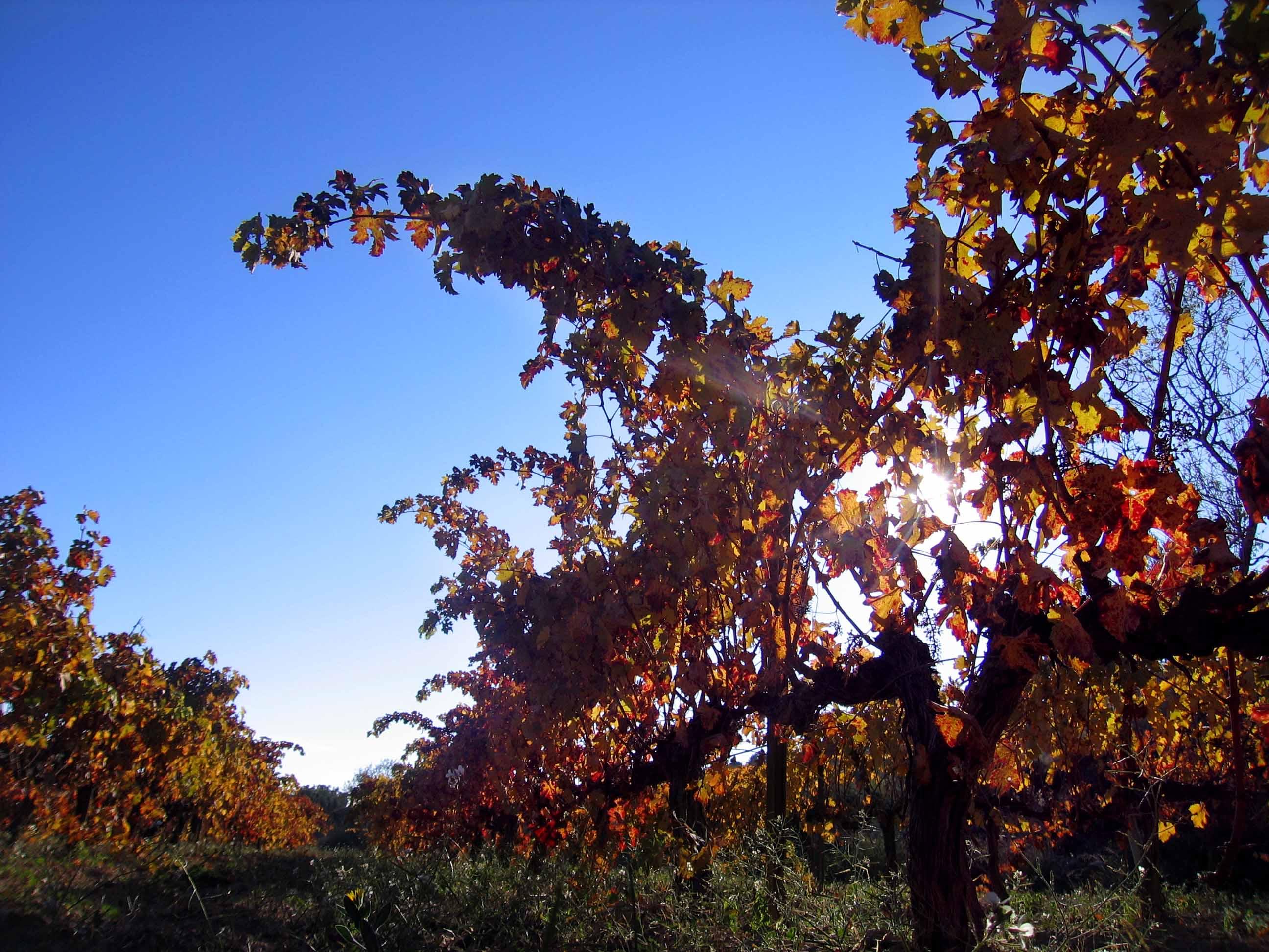 druiven november