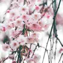 jinzu gin cherry blossom