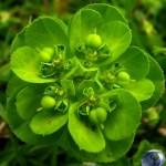 Euphorbia_helioscopia