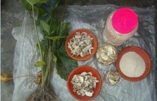 অবহেলিত মানকচু: কালাসোনা চরবাসীর দূর্যোগকালীন খাবার