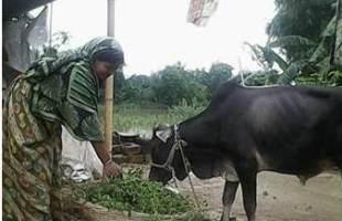 গবাদি পশুর খাদ্য চাহিদা মিটাচ্ছে হেলেঞ্চা