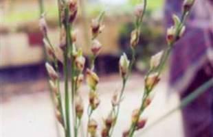 চারুলতা: কৃষকের  উদ্ভাবিত  ধান
