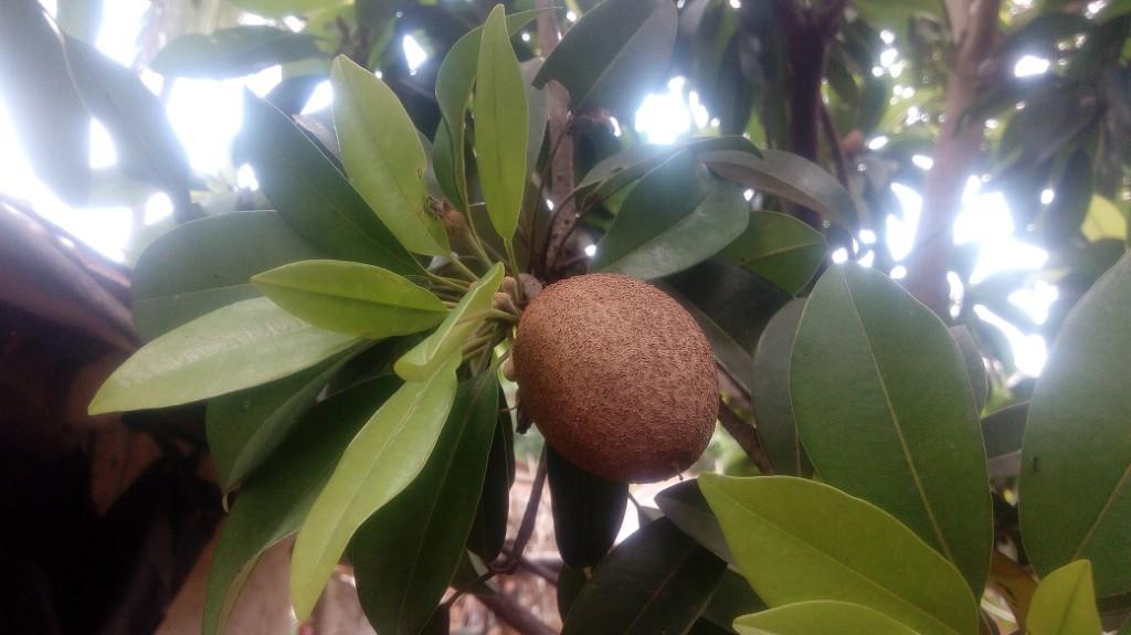 Chofeda Fruit 1