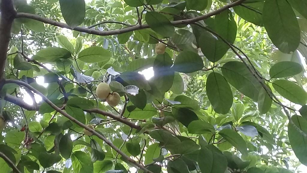 Debu Fruit 2