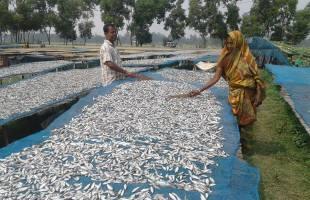 চলনবিল এলাকার শুটকি মাছ শিল্পে অনিশ্চয়তা