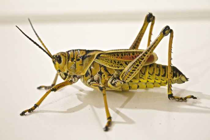 locust-jumping-grasshopper-animal-37830