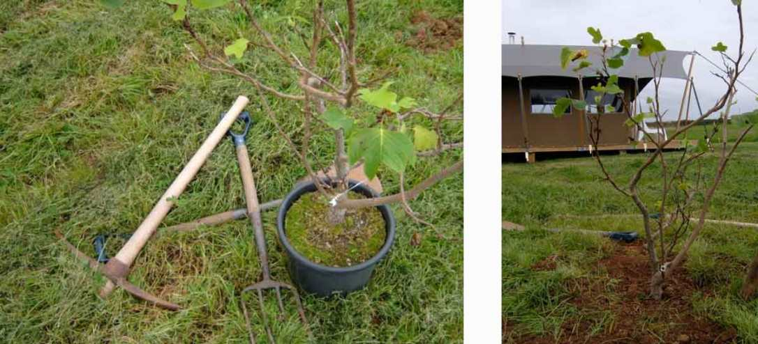 planting a tree in next to woody safari tent at barefoot glamping cornwall