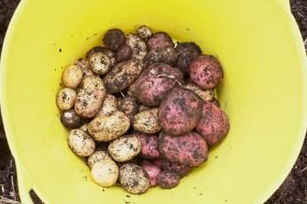 PotatoHarvest2