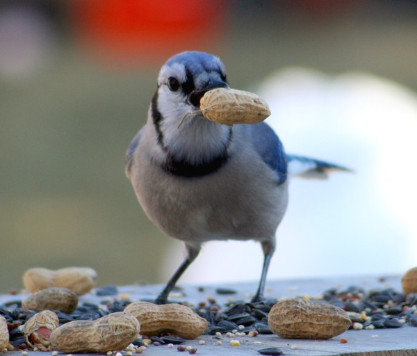Bluejay_with_peanut