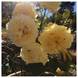 Fantastiske roser