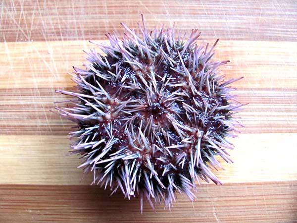 Sea Urchin underside