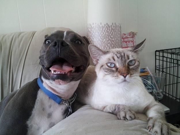 pitbull seriøs