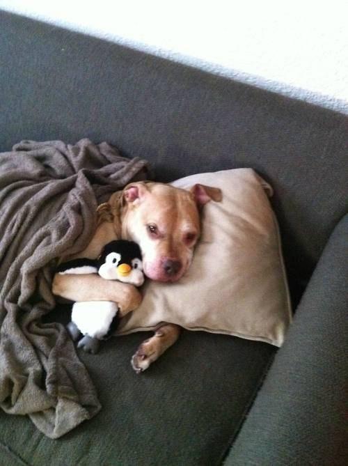 pitbull sov