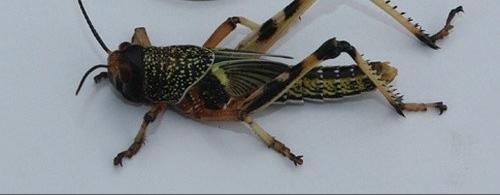 Reptiliennahrung Heuschrecken und Mehlwürmer