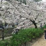 夙川河川敷の桜の場所は?お花見の見頃やアクセス方法は?