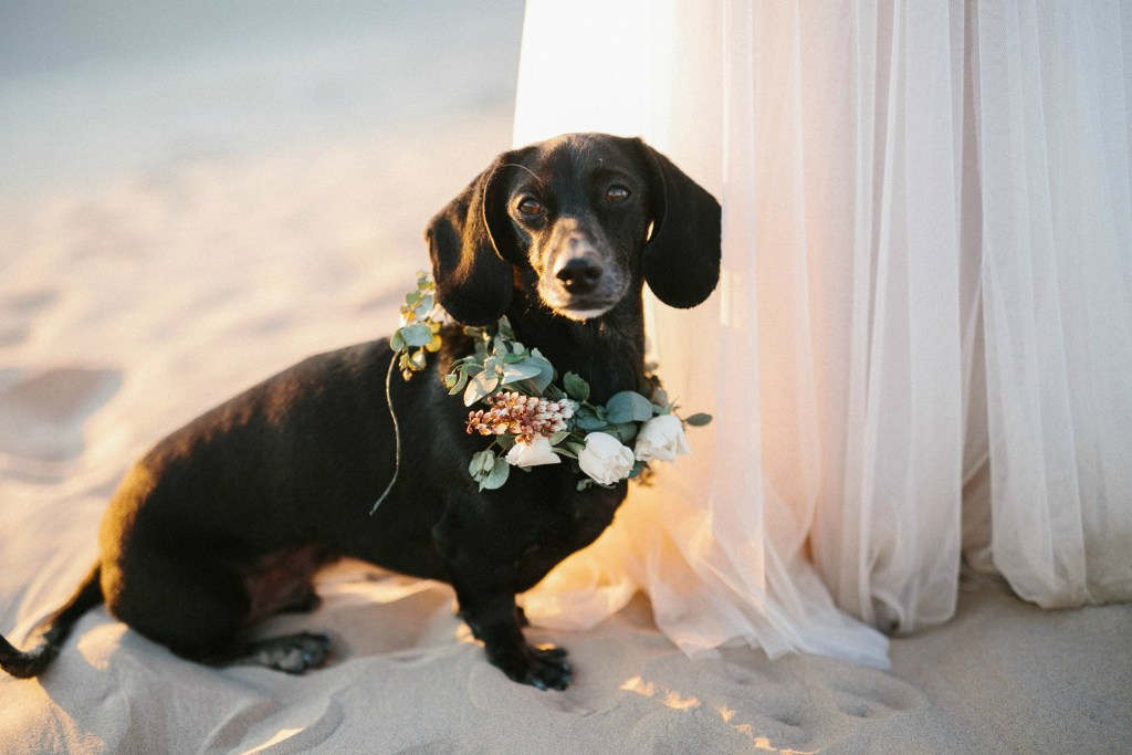 dachshund wearing floral wreath