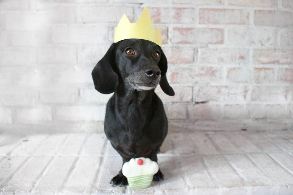 dachshund posing