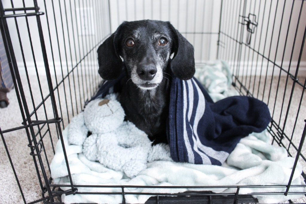 dachshund in crate
