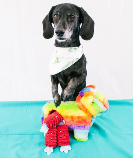 dachshund with dog toy