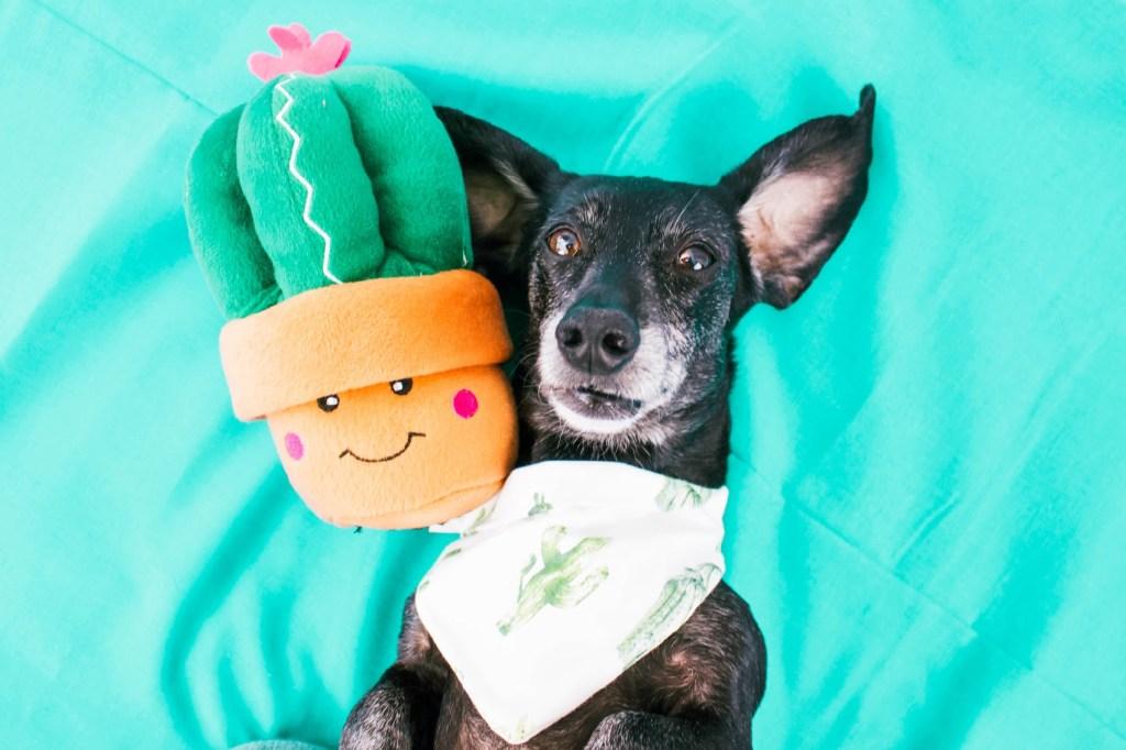 dachshund with zippypaws dog toy