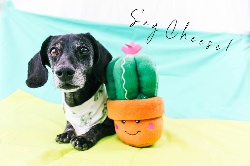 dachshund with zippypaws toy