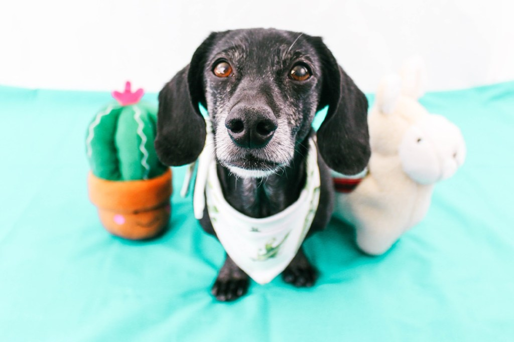 dachshund with zippypaws dog toys