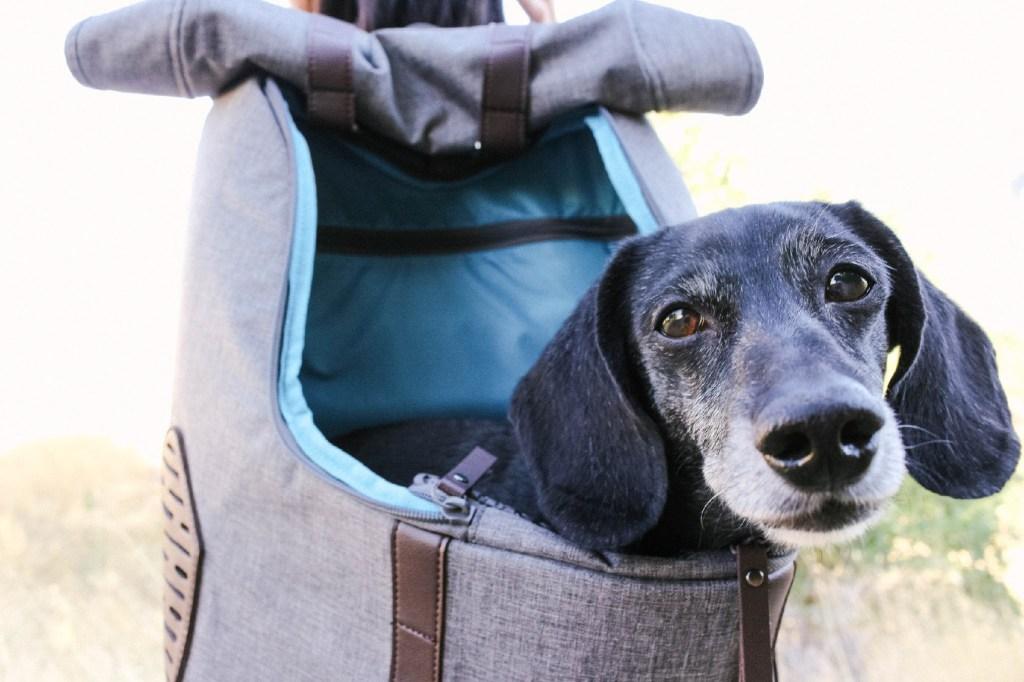 dachshund in dog backpack