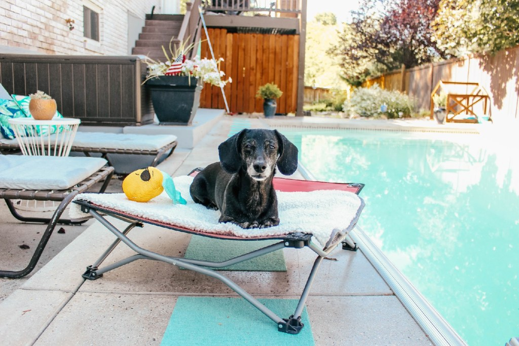 dachshund lounging by pool