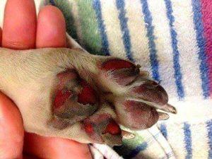burnt dog paw