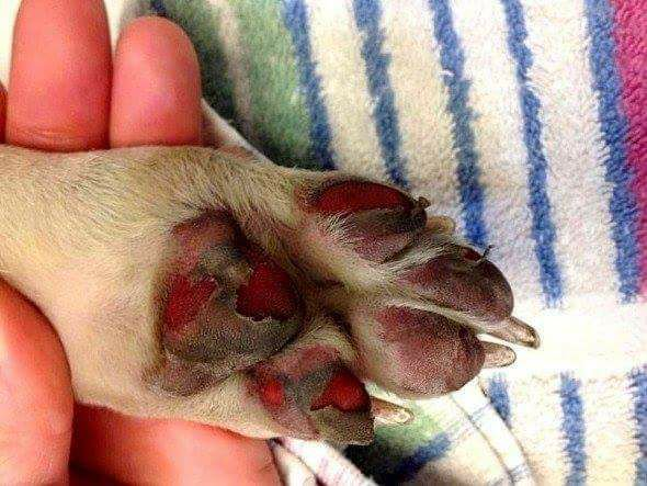 Damaged dog paws due to walking on a hot ground