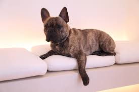 french bulldog exercise