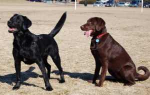 Two Labrador retrievers playing with each other