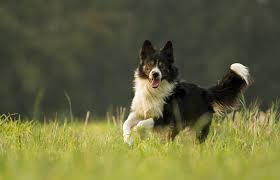 border collie run