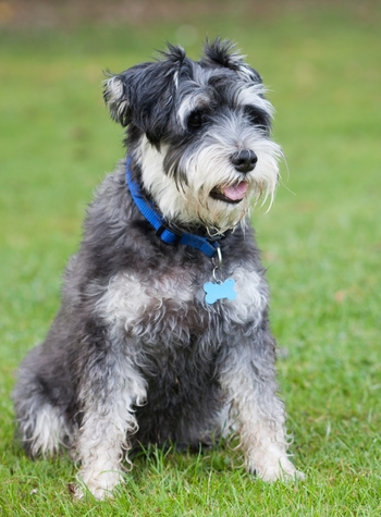 how much exercise does a miniature schnauzer need barkercise. Black Bedroom Furniture Sets. Home Design Ideas