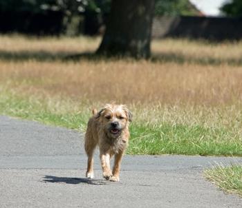 border terrier walking