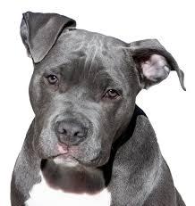pitbull exercise