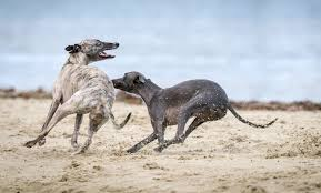 whippet play