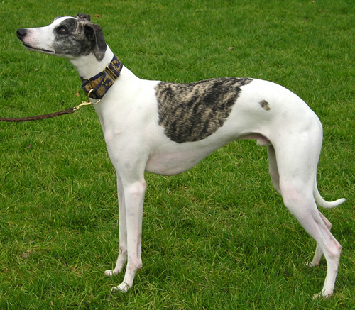 whippet exercise