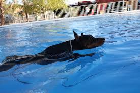 Doberman swimming