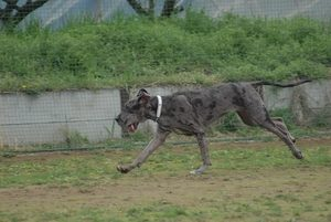 Great Dane Exercise