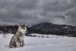 Malamute puppy in the snow