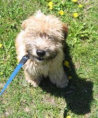 Wheaten Terrier walking