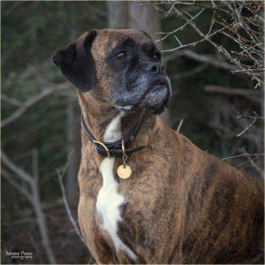 Boxer dog exercise