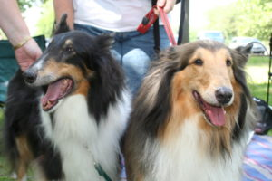 Pair of Collies