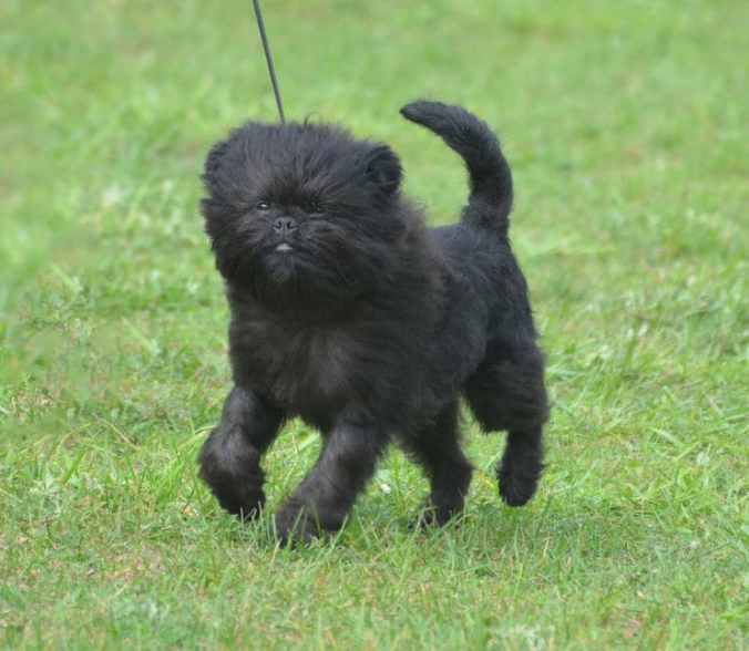 Affenpinscher on a leash in a grassy field