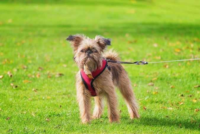 Brussels Griffon walking on a leash in a grassy field